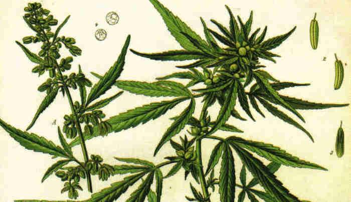 Grafik von Cannabis, alte Darstellung von W. Müller