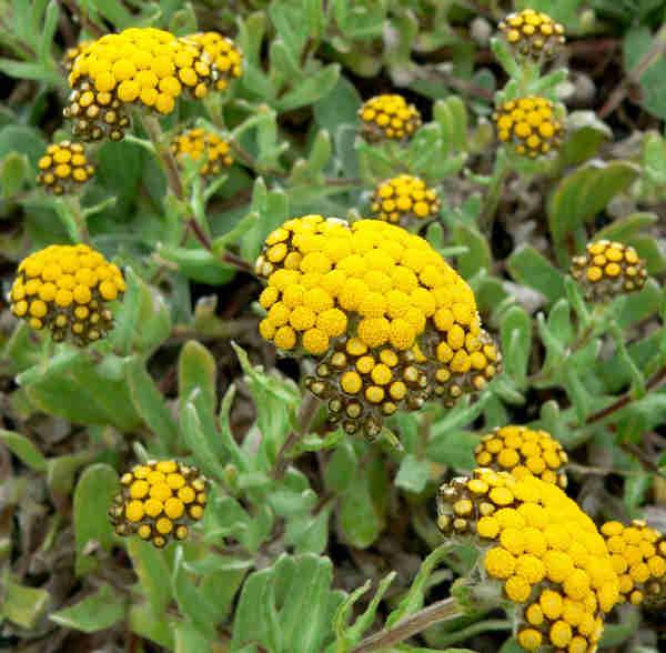 """""""Helichrysum basalticum 1"""" von Stan Shebs. Lizenziert unter CC BY-SA 3.0 über Wikimedia Commons - https://commons.wikimedia.org/wiki/File:Helichrysum_basalticum_1.jpg#/media/File:Helichrysum_basalticum_1.jpg"""